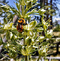 Bumblebee On Elkweed Blossoms by Jim Thomas