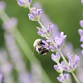 Bumblebee On The Lavender Field 2 by Andrea Anderegg