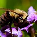 Bumblebee by Roberto Aloi
