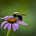 Bumblebee by Teresa Mucha