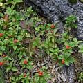 Bunchberry Berries by Hella Buchheim