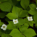 Bunchberry Blossoms by Irwin Barrett