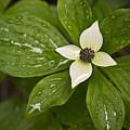 Bunchberry Cornus Canadensis by Chad Davis