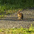 Bunny Eating On The Run by Belinda Greb