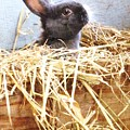 Bunny In The Straw by Jeanette Oberholtzer