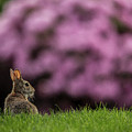 Bunny In The Yard by Bob Cournoyer