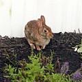 Bunny Rabbit by Barb Montanye Meseroll