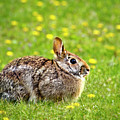 Eastern Cottontail Bunny Rabbit by Christina Rollo