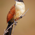 Burchell's Coucal - Rainbird by Johan Swanepoel
