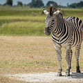 Burchell's Zebra On Grassy Plain Facing Camera by Ndp
