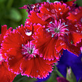 Burgandy Red Dianthus by Phyllis Denton