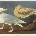 Burgomaster Gull by MotionAge Designs