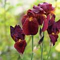 Burgundy Bearded Irises In The Rain by Rona Black