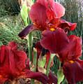 Burgundy Iris Flowers by Sofia Metal Queen