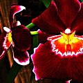 Burgundy Orchids by Parker