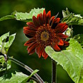 Burgundy Red Sunflower by Lisa  Telquist