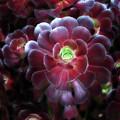 Burgundy Succulenta by Douglas Barnard