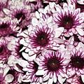 Burgundy White Crysanthemums by Kaye Menner
