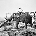 Burma: Elephant by Granger