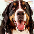 Burmese Mountain Dog by Jim Koniar