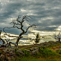 Burmis Tree And Wind Swept Pines by Constance Puttkemery
