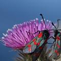 Burnet Moths by Terri Waters