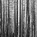 Burnt Forest by James BO Insogna