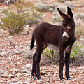 Burro Foal by James Marvin Phelps