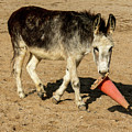 Burro Playing With Safety Cone by Elizabeth Hershkowitz