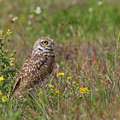 Burrowing Owl And Flowers by Paul Rebmann