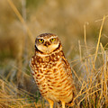 Burrowing Owl At Dawn by Dennis Hammer