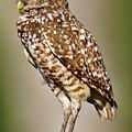Burrowing Owl by Bill Dodsworth