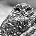 Burrowing Owl Black And White by JC Findley