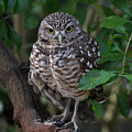 Burrowing Owl Color Version by Judy Wanamaker