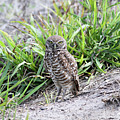Burrowing Owl by David Barker