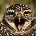 Burrowing Owl Eye To Eye by Max Allen