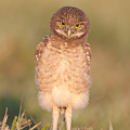 Burrowing Owl Fledgling I by Clarence Holmes