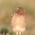 Burrowing Owl Fledgling II by Clarence Holmes