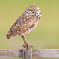 Burrowing Owl IIi by Clarence Holmes