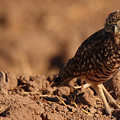 Burrowing Owl Looking Back Over Shoulder by Max Allen