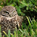 Burrowing Owl by Mandy Wiltse