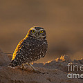 Burrowing Owl by Marie Read