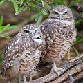 Burrowing Owl Pair  by Saija Lehtonen