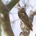 Burrowing Owl Perched On A Branch  by Saija  Lehtonen
