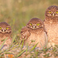Burrowing Owl Siblings by Clarence Holmes
