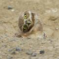 Burrowing Owl Tilted Head by Steve McKinzie