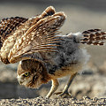 Burrowing Owlet Workout by Wes and Dotty Weber