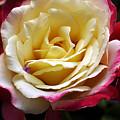 Burst Of Rose by Clayton Bruster