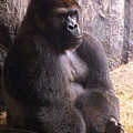 Busch Gorilla by Wayne Skeen