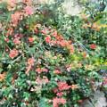 Bush Full Of Flowers. by Ashish Agarwal